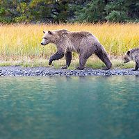 Grizzly bear sow walking along the shoreline of th Chilko River in British Columbia, Canada with her cub-of-the-year and golden grass in the background.