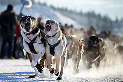 Start of the Yukon Quest International Sled Dog Race in Whitehorse, Yukon.