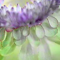 Fine art image of a mum flower.