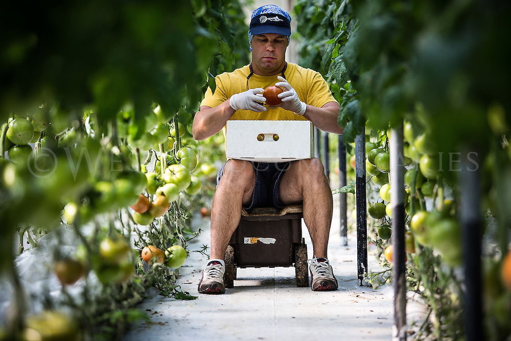 Jonathan Morgan moves his way through rows of tomato vines as he picks ripened Heritage tomatoes in the greenhouse on May 12 at Sunburst Farms, which is located in Nashville, N.C.