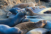 Northern elephant seals (Mirounga angustirostris) at Piedras Blancas Elephant Seal Rookerie, San Simeon, California USA