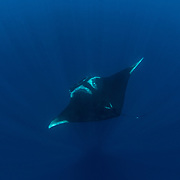 Oceanic manta ray ( Manta birostris ), Honda Bay, Palawan, the Philippines