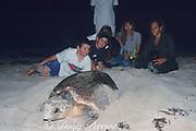 young beachgoers watch as female loggerhead sea turtle, Caretta caretta, covers nest, Juno Beach, Florida, USA ( Western Atlantic Ocean )