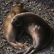 Northern Elephant Seal (Mirounga angustirostris), two young seals on a beach sleeping. San Benito Island, Mexico.