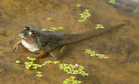 Tadpole of American bullfrog, Rana catesbeiana, with four legs. Native to the Eastern United States, bullfrogs were introduced and have become established west of the Rockies. Bullfrogs are large, aggressive predators and prolific breeders, and have seriously depleted native frog populations in many areas of the West.