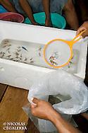 Pterapogon kauderni  emballés pour l'exportation vers les aquariums du monde entier<br /> <br /> Mission Banggai Cardinal Fish, Mai 2008, Act for Nature - Musee oceanographique de Monaco