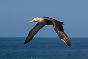 A large waved albatross adult (Diomedea irrorata) in flight near Espanola Island, Galapagos Archipelago - Ecuador.