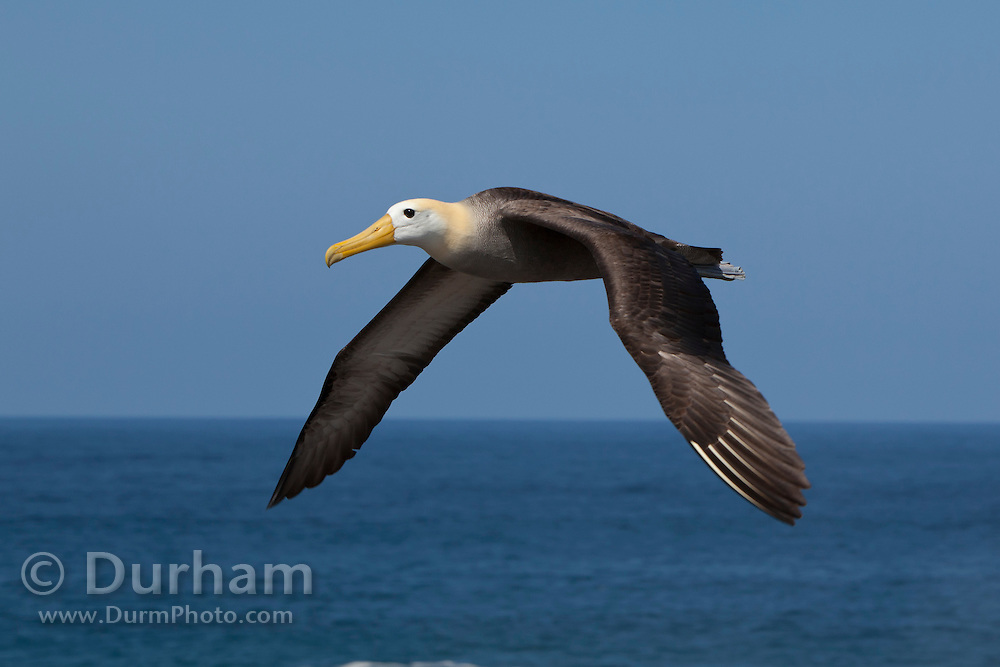 A large waved albatross adult (Diomedea irrorata) in flight near Espanola Island, Galapagos Archipelago - Ecuador.