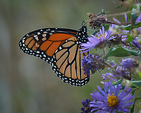 Monarch Butterfly Feeding on a Purple Wildflower. Image taken with a Nikon D2xs camera and 80-400 mm telephoto zoom lens (ISO 400, 400 mm, f/8, 1/160 sec).