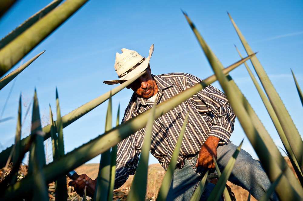 A jimador uses a tool called a coa to harvest the heart, or pina, of the blue agaves used to make tequila.