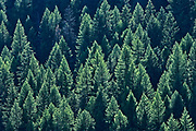 Coniferous forest on hillside of Monashee Mountains, Moyie, British Columbia, Canada