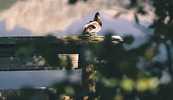 THEMENBILD - eine Ente am Ritzensee, aufgenommen am 29. September 2019 in Saalfelden, Oesterreich // a Duck at Lake Ritzensee in Saalfelden, Austria on 2019/09/29. EXPA Pictures © 2019, PhotoCredit: EXPA/ JFK