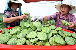 August 1, 2018 - Tancheng, China - Farmers collect lotus seedpods in Tancheng County of Linyi City, east China's Shandong Province. (Credit Image: © Fang Dehua/Xinhua via ZUMA Wire)