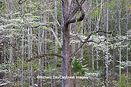 66745-04305 Dogwood trees in spring, Cades Cove area, Great Smoky Mountains National Park, TN