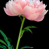 Pink Peony flower photographed in studio in a vase with a black background.