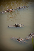 American alligators (Alligator mississipiensis) floats in a swamp in Myrtle Beach, SC.