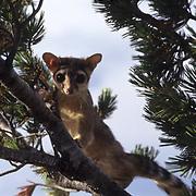 Ringtail, (Bassariscus astutus) Adult in southern Utah.  Captive Animal.