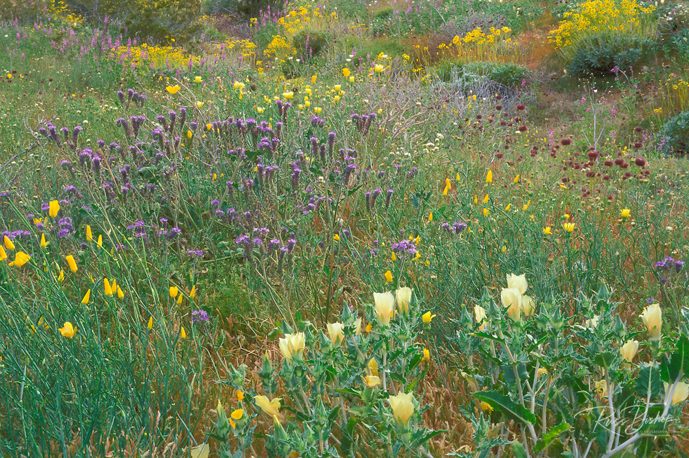Sand Blazing Star (Mentzelia involucrata), Desert Poppy (Eschscholzia sp), and Chia (Salvia columbariae) in the Cottonwood Mountains, Joshua Tree National Park, California