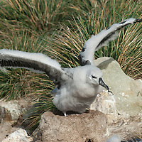 A young Black Browed Albatross tests its downy wings at a rookery on New Island in Britain's Falkland Islands.