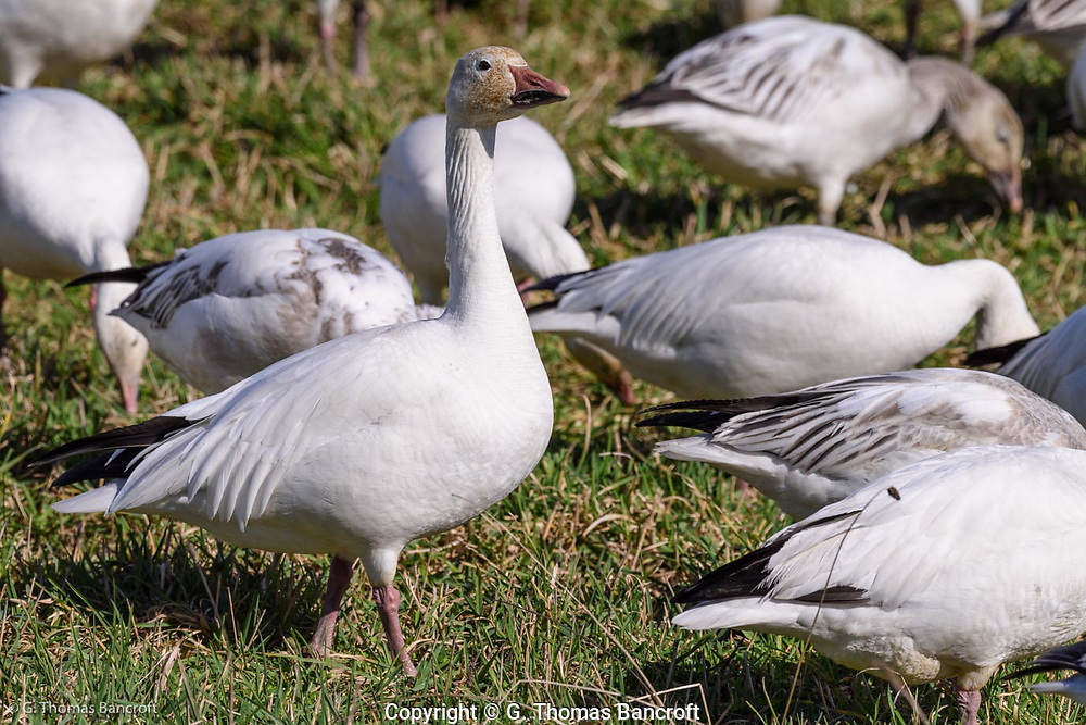 An adult snow goose in white plumage stands alert to check for possible danger before returning to feed. A few black primaris stick out from the folded wing.