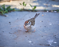 Chipping Sparrow. Image taken with a Nikon D5 camera and 600 mm f/4 VR lens (ISO 1600, 600 mm, f/5.6, 1/800 sec)
