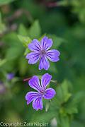 Geranium nodosum - Hardy Geranium. Clover Cottage