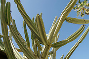 Cereus repandus (syn. Cereus peruvianus), the Peruvian apple cactus, is a large, erect, thorny columnar cactus found in South America and Caribbean. It is also known as giant club cactus, hedge cactus, cadushi and kayush. Photographed in Israel in January