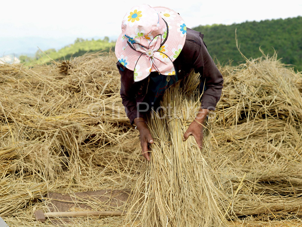 After drying on the upland field for several days, an Akha Cherpia ethnic minority woman threshes the rice sheaves with a wooden threshing tool to remove the grain before carrying back to the village in sacks.  Swidden cultivation or 'hai' in Lao consists of cutting the natural vegetation, leaving it to dry and then burning it for temporary cropping of the land, the ash acting as a natural fertiliser. Shifting cultivation practices, although remarkably sustainable and adapted to their environment in the past, have come under increasing stress in recent decades and are now starting to be a major problem in Lao PDR, causing widespread deforestation and watershed degradation.