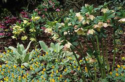 Helleborus orientalis and Eranthis hyemalis - Winter aconite