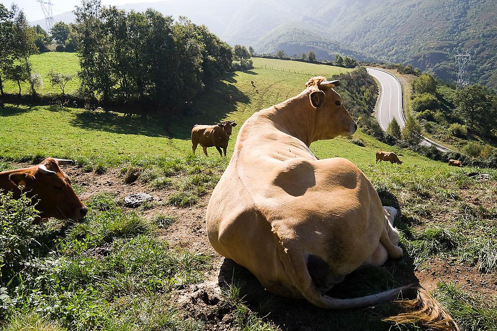 Cows in a field along the Camino de Santiago pilgrimage between O Cebreiro and Triacastela, Galicia, Spain.