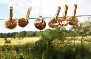 Line of round tea bags held by wooden pegs on clothes line concept of thrift and austerity