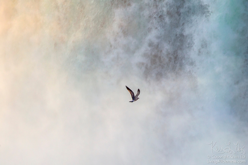 A herring gull (Larus argentatus) flies into the mist from Horseshoe Falls, one of the waterfalls that make up Niagara Falls on the border of New York and Ontario.