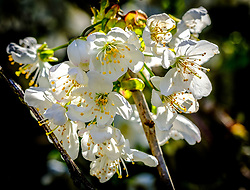 Cherry blossom in early spring - South Lanarkshire, Scotland<br /> <br /> (c) Andrew Wilson | Edinburgh Elite media