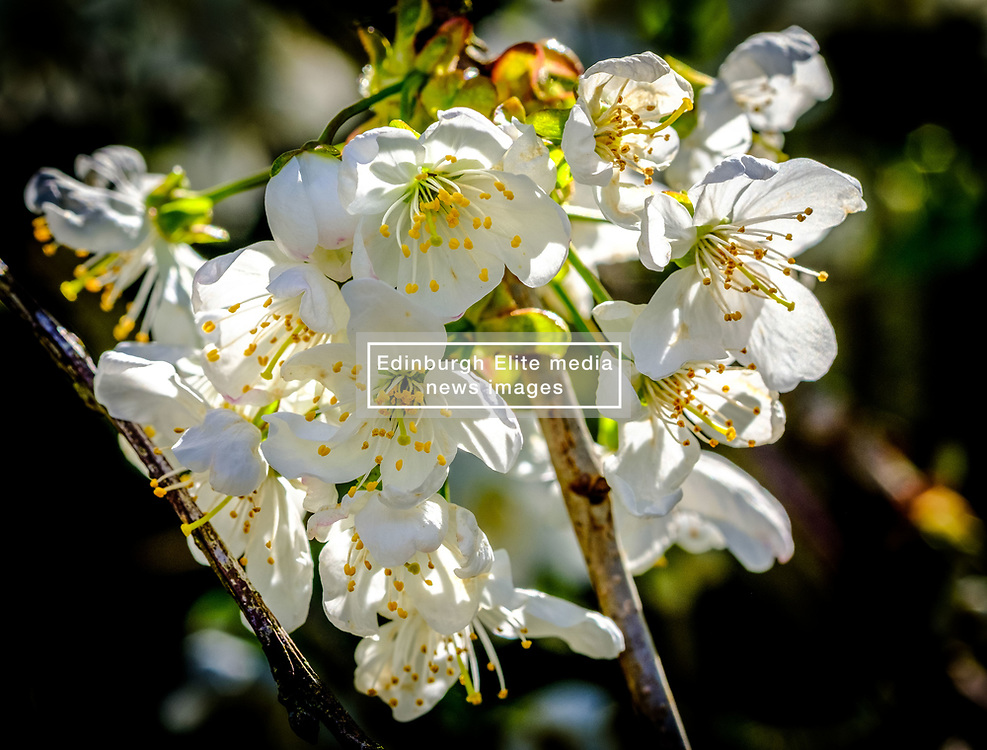Cherry blossom in early spring - South Lanarkshire, Scotland<br /> <br /> (c) Andrew Wilson | Edinburgh Elite media