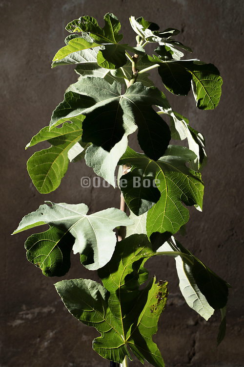 fig tree twig with leaves