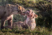 Lions have taken down and killed a Cape Buffalo, Ngorongoro Crater, Tanzania. Here grooming and licking blodd off each other.