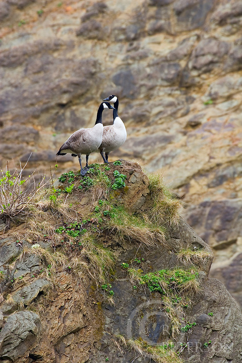 mating pair of Canada goose nesting on a rock