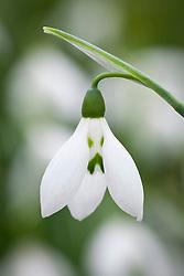 Galanthus elwesii 'Grumpy'