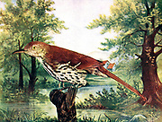 The brown thrasher (Toxostoma rufum [Here as Harporhynchus Rufus]) is a bird in the family Mimidae, which also includes the New World catbirds and mockingbirds. The brown thrasher is abundant throughout the eastern and central United States and southern and central Canada, and it is the only thrasher to live primarily east of the Rockies and central Texas. It is the state bird of Georgia. From Birds : illustrated by color photography : a monthly serial. Knowledge of Bird-life Vol 1 No 3 March 1897