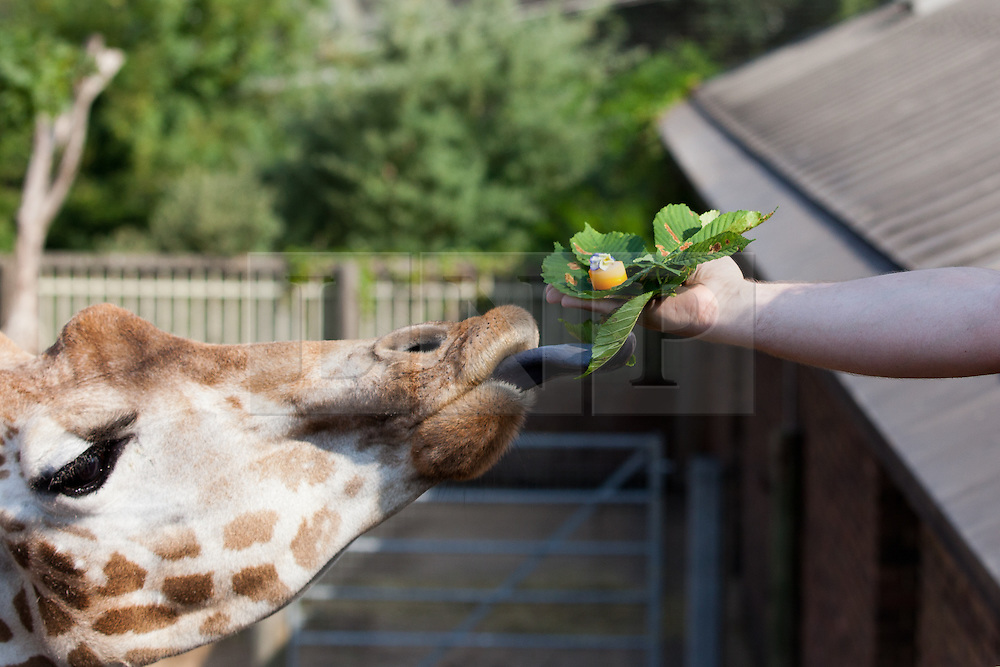 © Licensed to London News Pictures. 17/07/2013. London, UK. Gary Deveraux, executive for London Zoo's caterers Ampersand feeds a giraffe with a carrot and cabbage canape w as the zoo celebrates the opening of their new Terrace Restaurant in London today (17/07/2013). Photo credit: Matt Cetti-Roberts/LNP