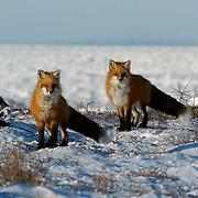 Red Fox (Vulpus fulva) A pair near Churchill, Manitoba, Canada. Winter.