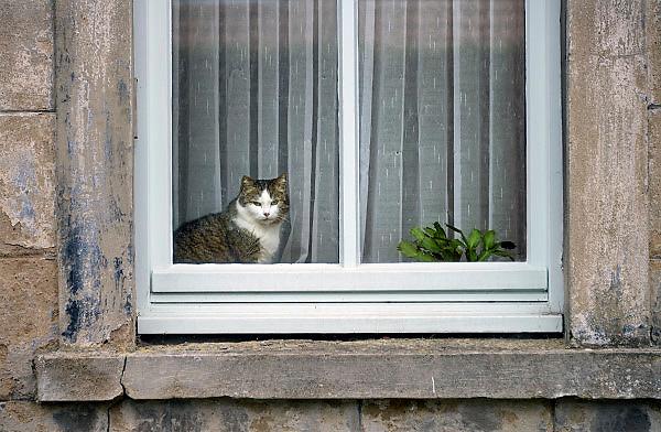 Nederland, Born, 1-3-2013Een kat, poes zit voor het raam naar buiten te kijken.Foto: Flip Franssen/Hollandse Hoogte