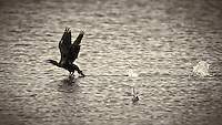 Cormorant Taking Off. Biolab Road in Merritt Island National Wildlife Refuge. Image taken with a Nikon D4 camera and 600 mm f/4 VR lens (ISO 360, 600 mm, f/5.6, 1/1250 sec). Raw image processed and converted to B&W with Capture One Pro 7.
