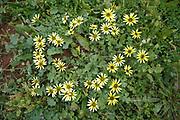 A cluster of Golden Aster flowers in a garden