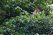 Young Proboscis Monkey (Nasalis larvatus)sitting in a tree by Kinabatangan River, Sabah