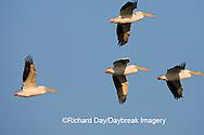 00671-009.19 American White Pelicans (Pelecanus erythrorhynchos) in flight  Riverlands Environmental Demonstration Area,  MO