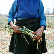 Wearing a traditional jade bracelet, a Bai ethnic minority woman holds a bunch of spring onions whilst working on a farm supplying to a local factory, Da Cheng village, Yunnan province, China