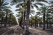 Desert agriculture. Date palm tree plantation. photographed in Israel, Aravah, Paran,