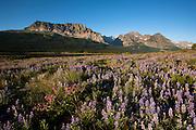 Wildflower near Lake Sherburne, Glacier National Park.