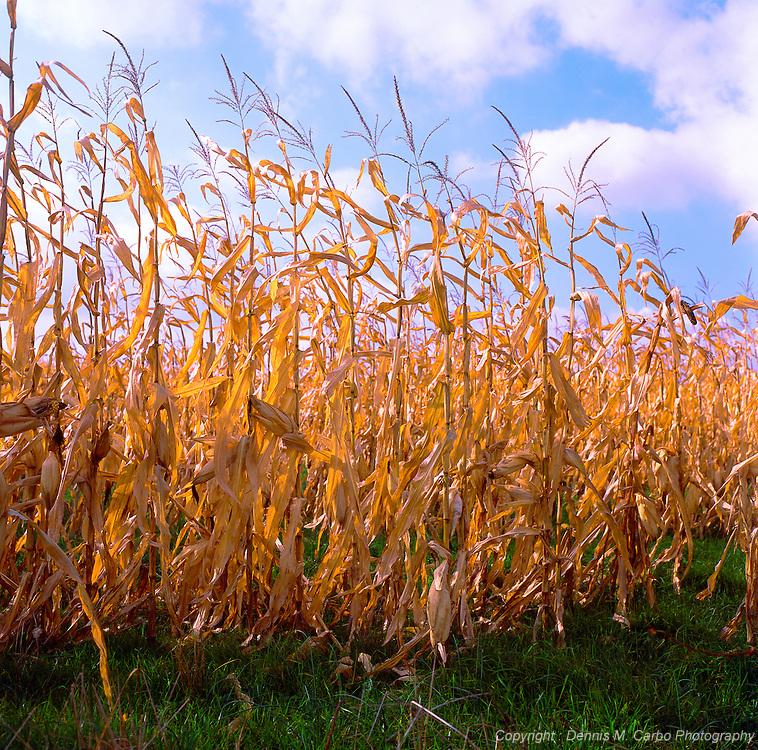 Corn Maize - Gettysburg, PA